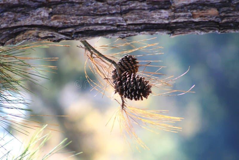 Dos Pinecones imagen de archivo