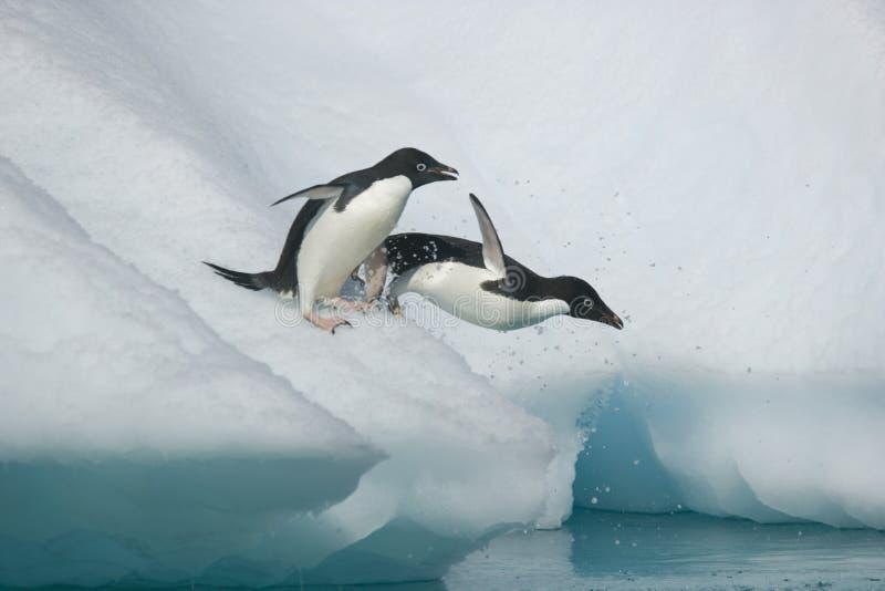 Dos pingüinos de Adelie toman la zambullida en el océano de un iceberg antártico imagen de archivo