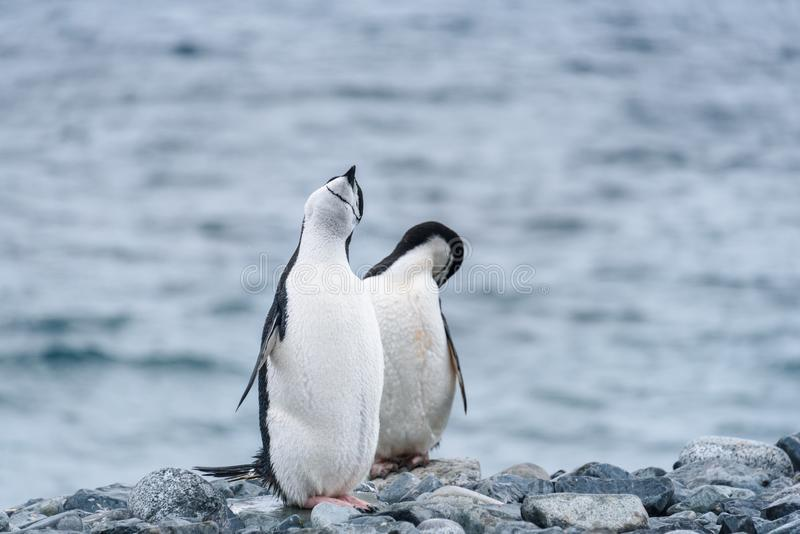 Dos pingüinos de Chinstrap en una orilla rocosa contra un fondo del agua, isla de la media luna, la Antártida fotografía de archivo libre de regalías