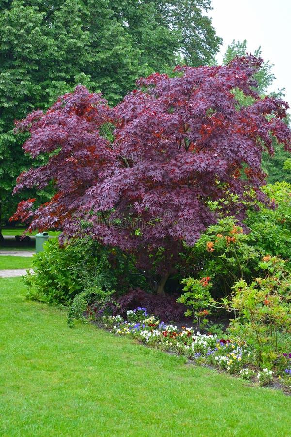 Dos platanoides carmesins do rei Acer do acutifoliate do bordo rei carmesim, planta adulta fotos de stock royalty free