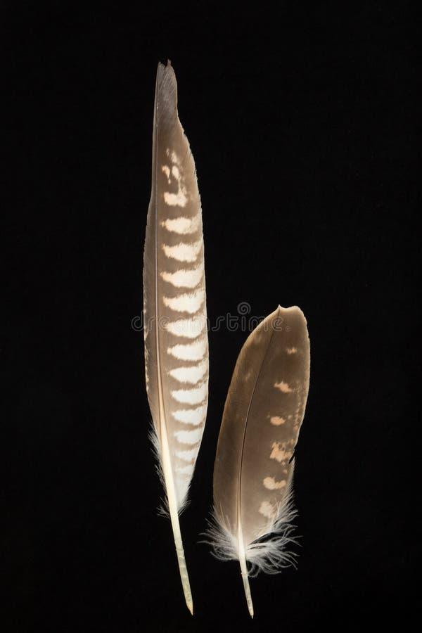 Dos plumas de halcón de Saker, cherrug de Falco fotografía de archivo
