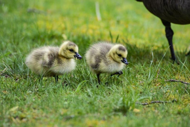 Dos pocos polluelos del ganso de Canadá debajo de la sombra de la mamá fotos de archivo libres de regalías