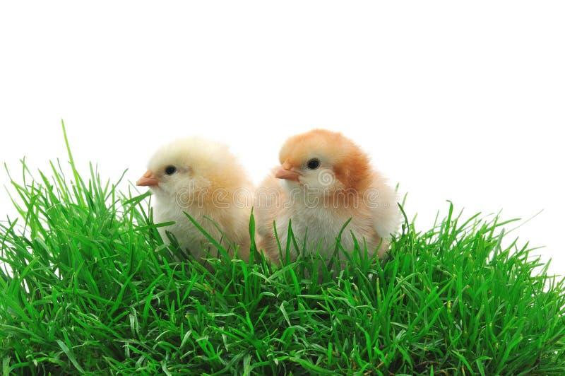 Dos polluelos en hierba imagen de archivo