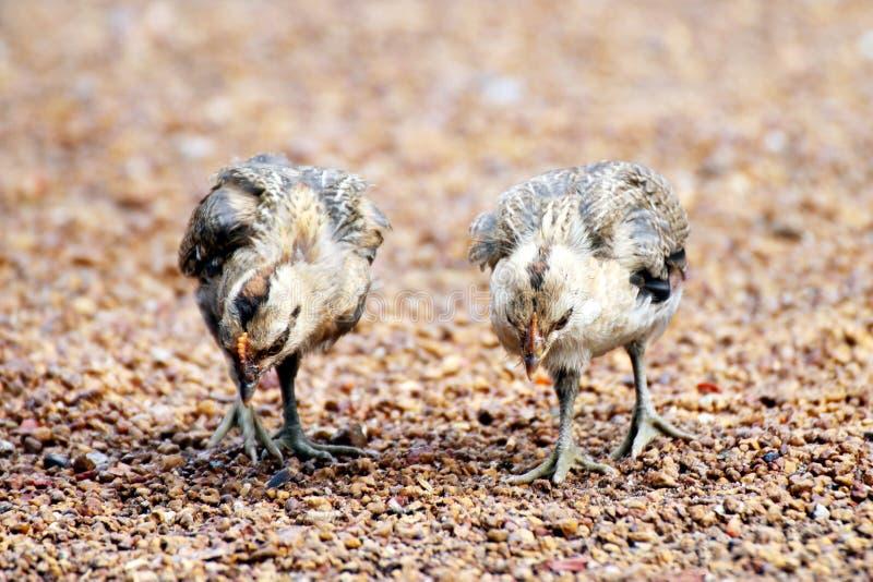 Dos polluelos están caminando en la tierra, polluelo, bebé del pollo foto de archivo libre de regalías