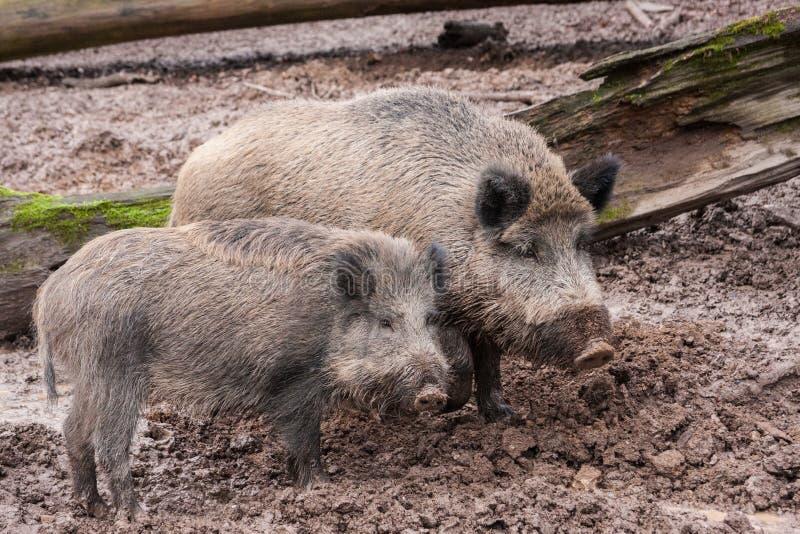 Dos porks melenudos en el fango Fauna y concepto del cultivo imagen de archivo libre de regalías