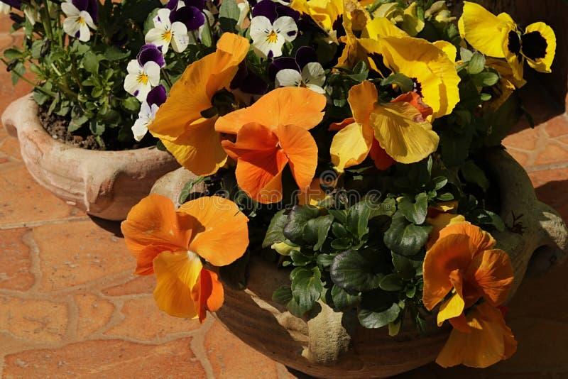 Dos potes de cerámica con las flores de Viola Tricolor de diversas variedades, colocadas en el piso tejado, tomando el sol en sol imagen de archivo libre de regalías