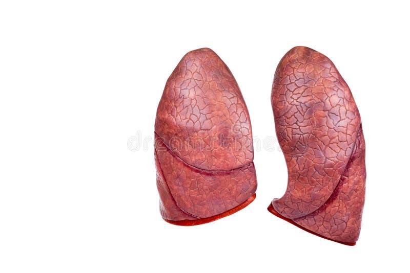 Dos pulmones modelo humanos aislados en el fondo blanco fotografía de archivo libre de regalías