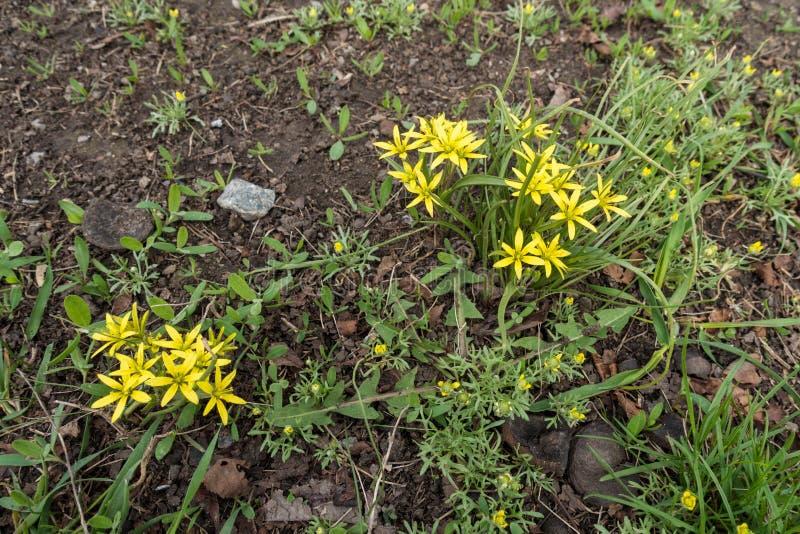 Dos racimos de flores amarillas limón brillantes imagen de archivo