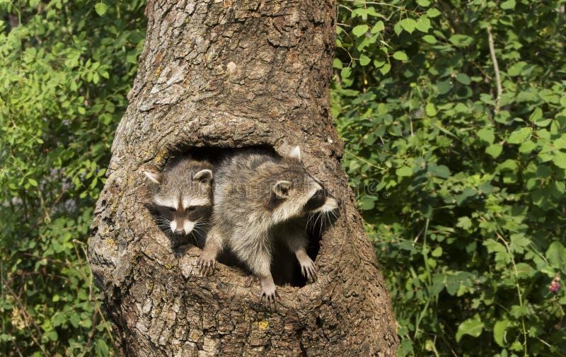 Dos Racoons en un agujero foto de archivo