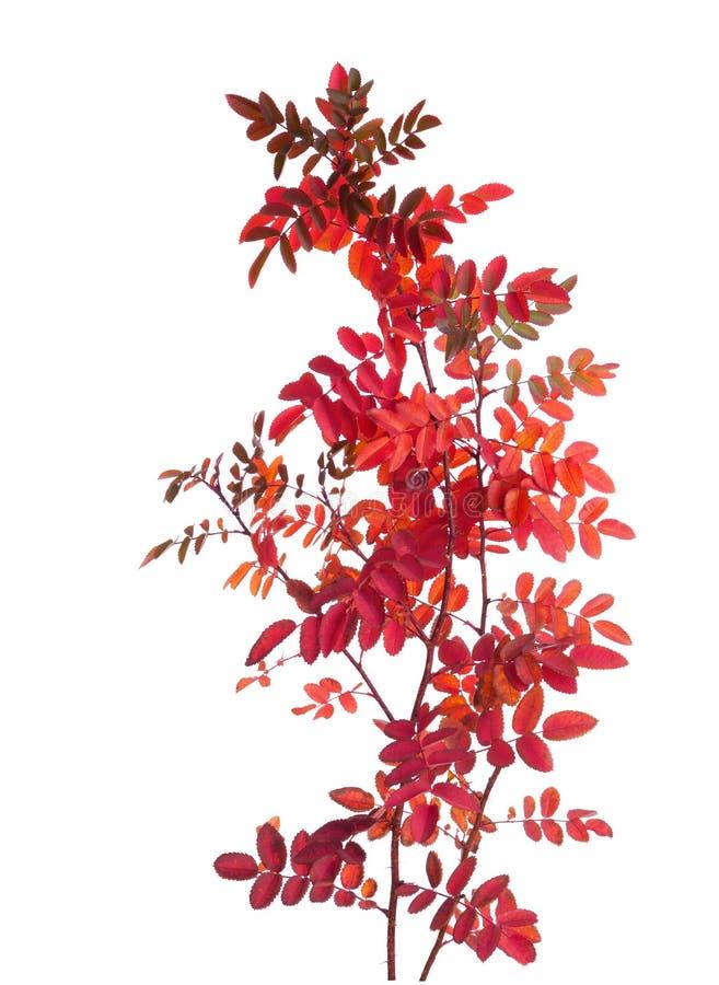 Dos ramas con las hojas de otoño coloridas imágenes de archivo libres de regalías