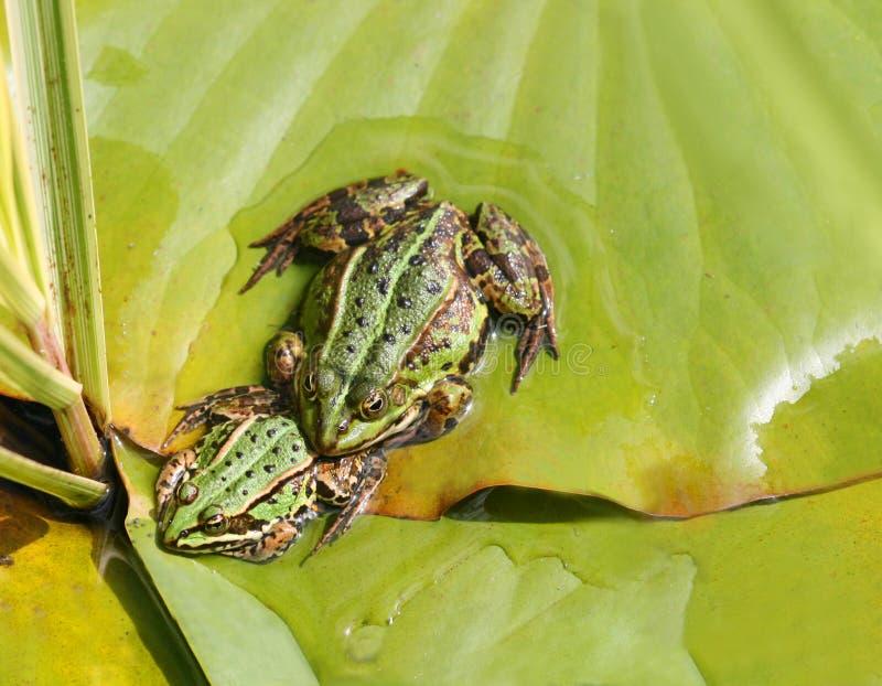 Dos ranas imagen de archivo