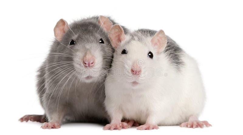 Dos ratas, 12 meses fotos de archivo