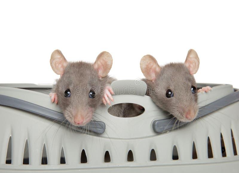 Dos ratas de Dumbo que miran a escondidas de llevar imagenes de archivo