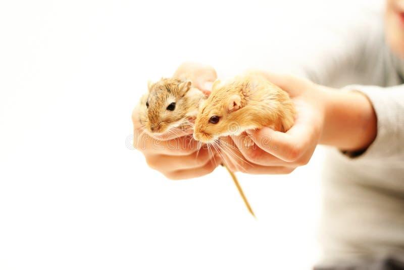 Dos ratas en las manos del niño fotos de archivo