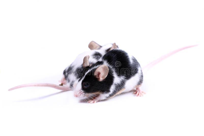 Dos ratones - dirección dos imagen de archivo libre de regalías
