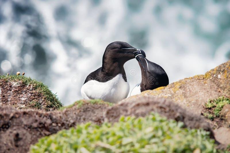 Dos razorbills en rocas en las islas de Saltee fotos de archivo