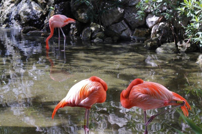 Dos reclinaciones y una de los flamencos que comen en The Creek imagen de archivo