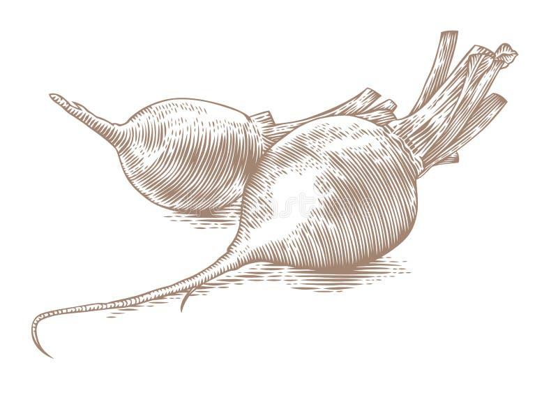 Dos remolachas crudas ilustración del vector