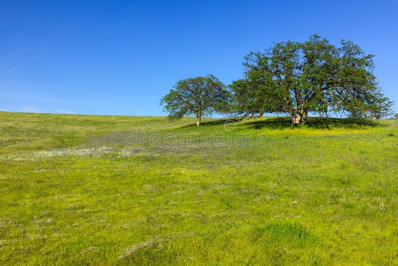 Dos robles majestuosos en la colina enorme de la pradera imagen de archivo libre de regalías