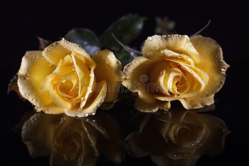 Dos rosas amarillas con la reflexión en fondo negro imagenes de archivo
