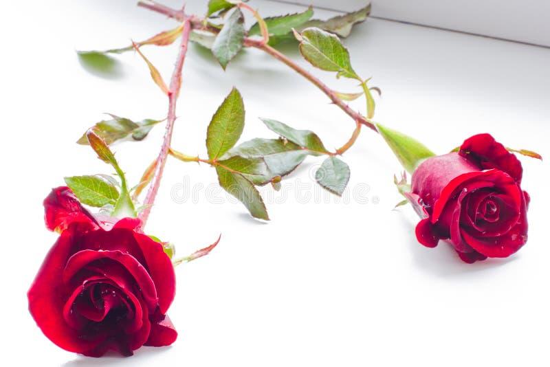 Dos rosas hermosas en un fondo blanco imágenes de archivo libres de regalías