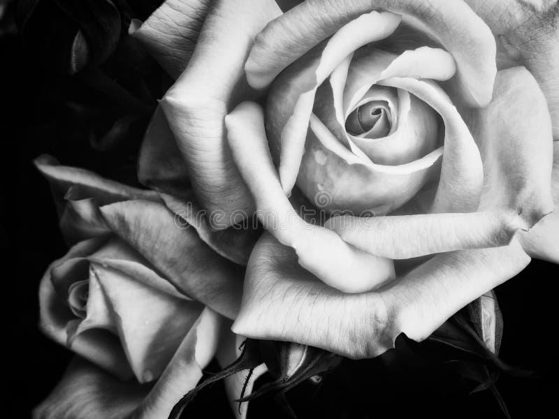 Dos rosas oscuras en un fondo negro fotografía de archivo libre de regalías