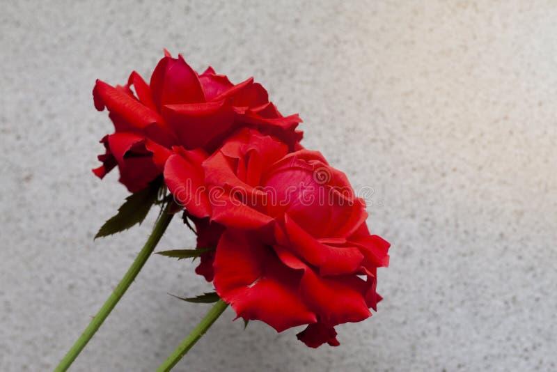 Dos rosas rojas con el fondo del cemento imágenes de archivo libres de regalías