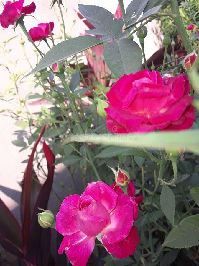 Dos Rose foto de archivo