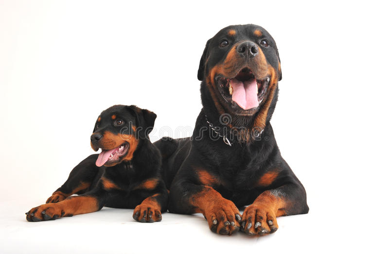 Dos rottweilers imágenes de archivo libres de regalías