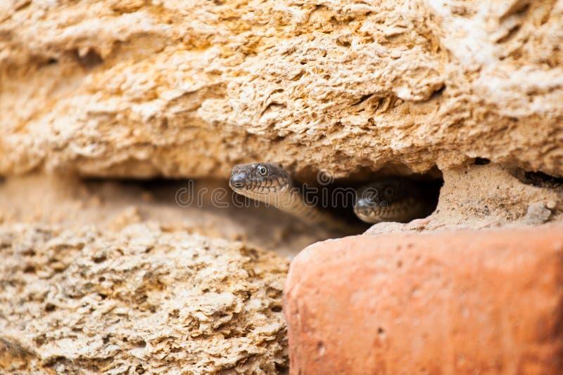 Dos serpientes en la madriguera imagenes de archivo