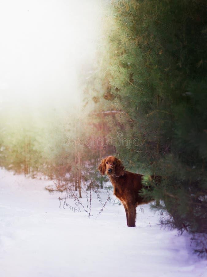 Dos setteres irlandeses rojos hermosos que corren rápidamente en bosque en día de invierno soleado fotografía de archivo libre de regalías
