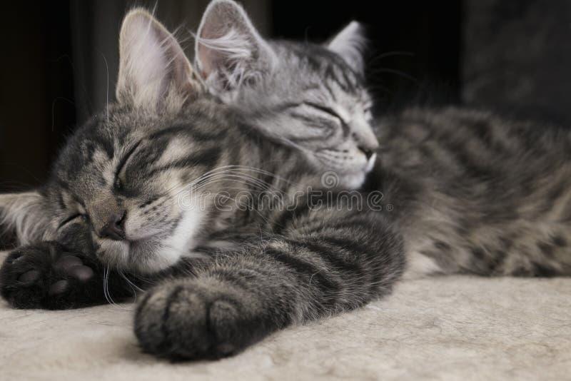 Dos sibs iluminaron los pequeños gatitos de los gatos que dormían juntos en la felpa molida con el fondo oscuro imagenes de archivo