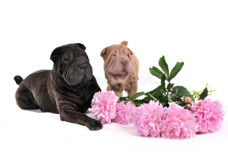 Dos Socarran-Pei con las flores fotografía de archivo libre de regalías
