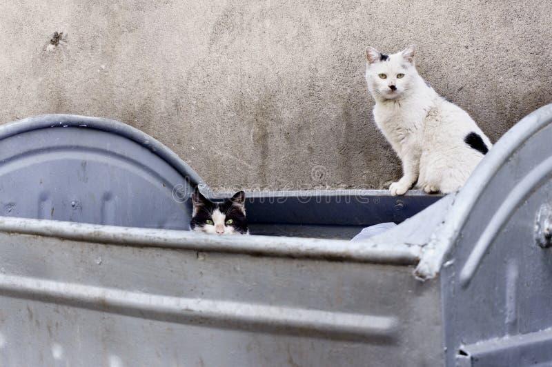 Dos sucios, gatos perdidos en envase asqueroso de la basura fotos de archivo libres de regalías