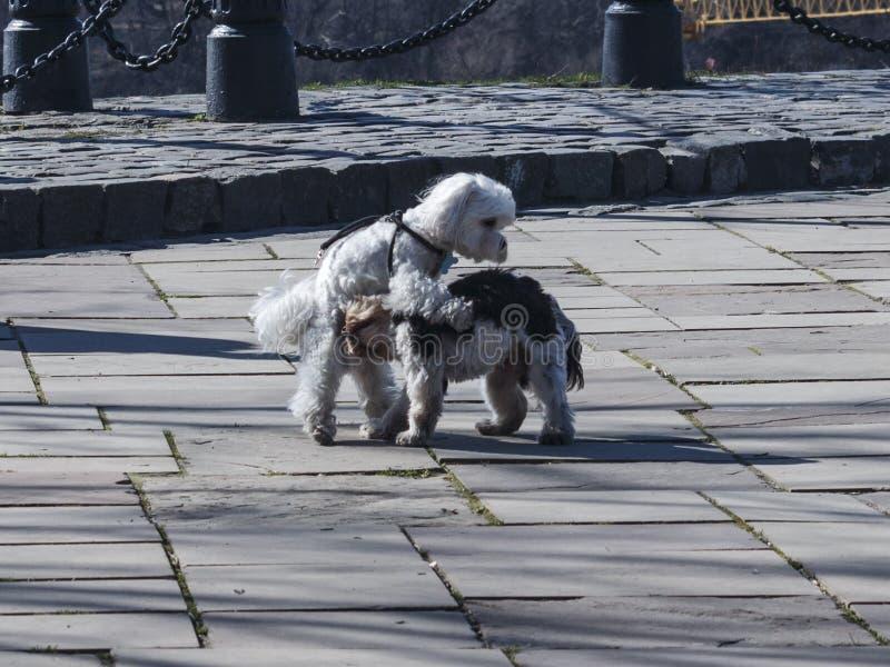 Dos terrieres de baile en el parque fotos de archivo