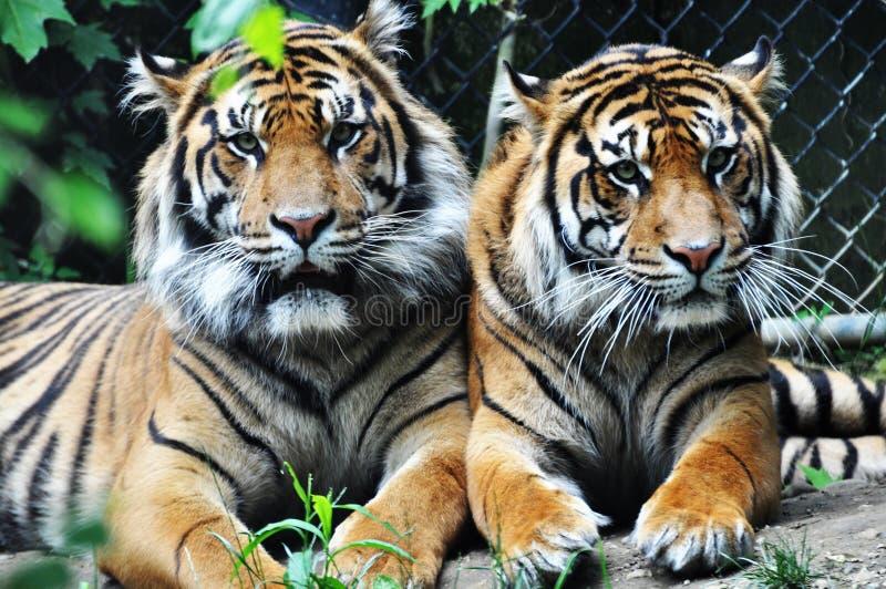 Dos tigres fotografía de archivo libre de regalías