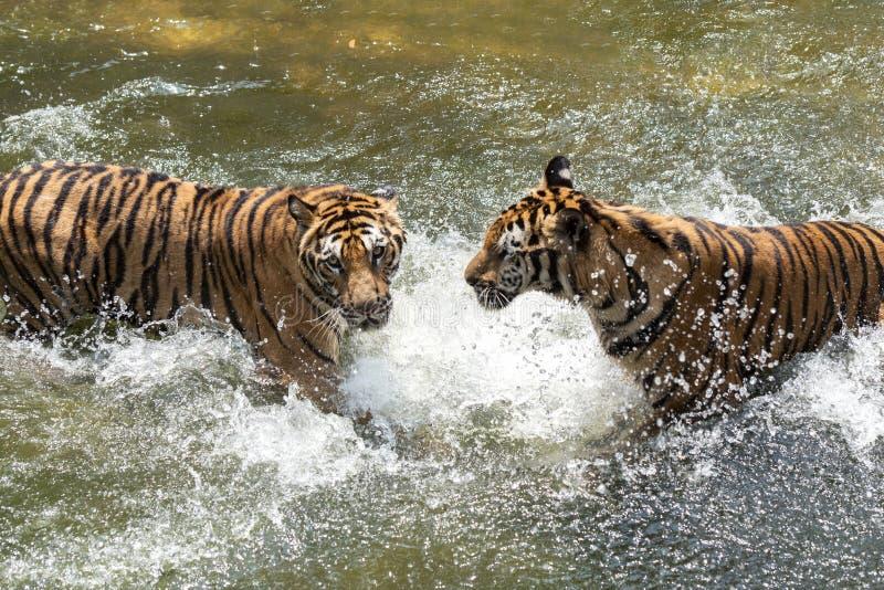 Dos tigres siberianos en lucha con uno a imagen de archivo