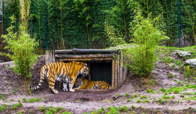 Dos tigres siberianos junto una situación y colocación en una choza, animales en peligro de Rusia foto de archivo