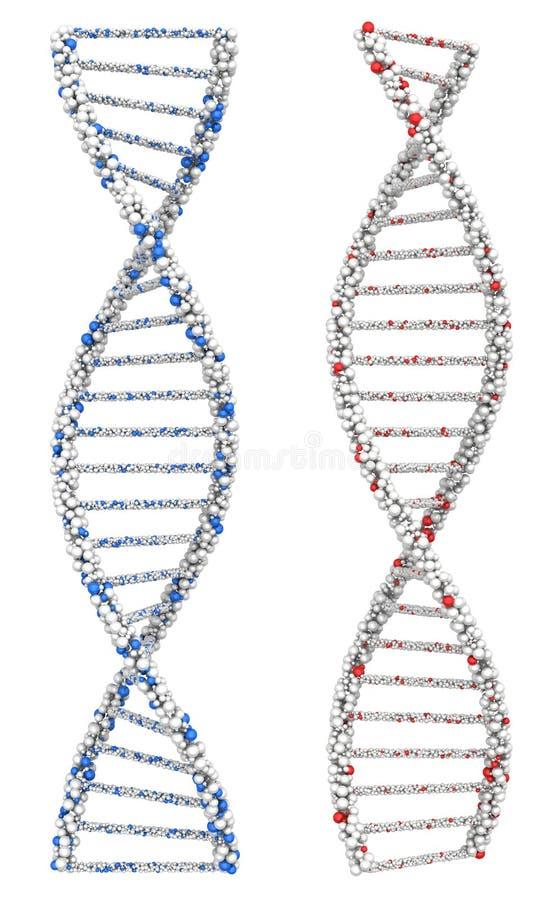 Dos torcieron las moléculas de la DNA en el cromosoma libre illustration