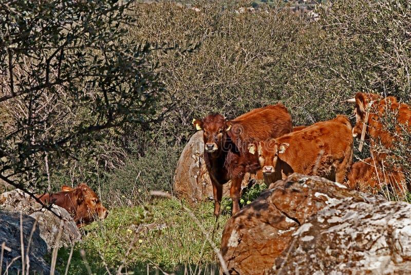 Dos toros y miradas jovenes hacia la c?mara fotografía de archivo