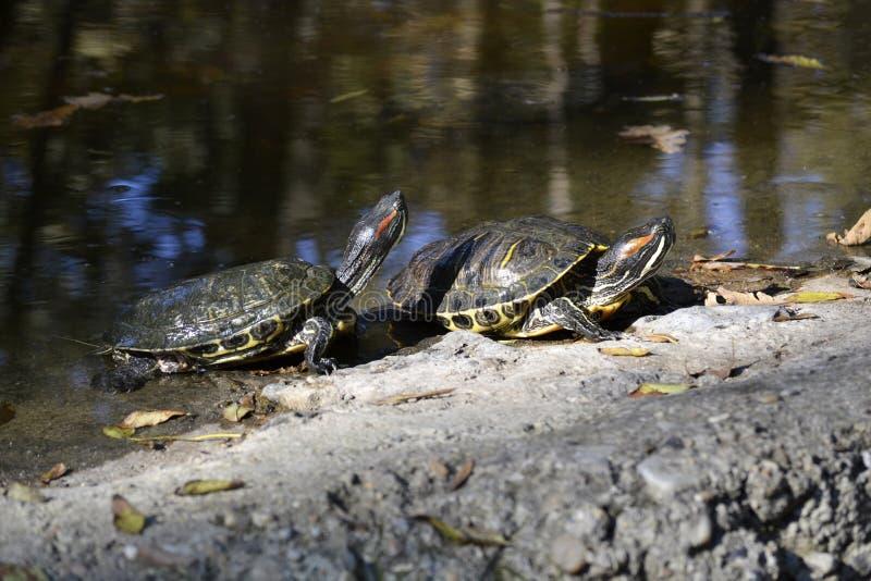 Dos tortugas imagen de archivo
