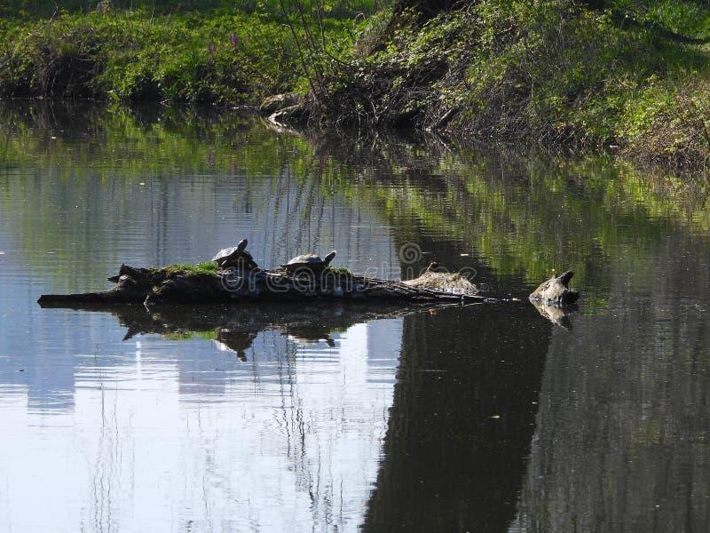 Dos tortugas americanas en la charca imagen de archivo