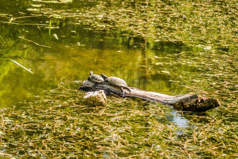 Dos tortugas de la charca en un árbol que flota en el agua foto de archivo