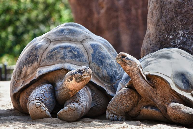 Dos tortugas de las Islas Galápagos que tienen una conversación fotos de archivo