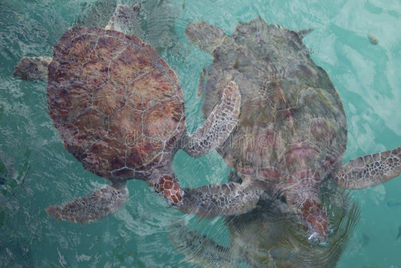 Dos tortugas de mar en peligro cuerpo completo que nadan junto en la superficie del agua en santuario de la preservación foto de archivo libre de regalías