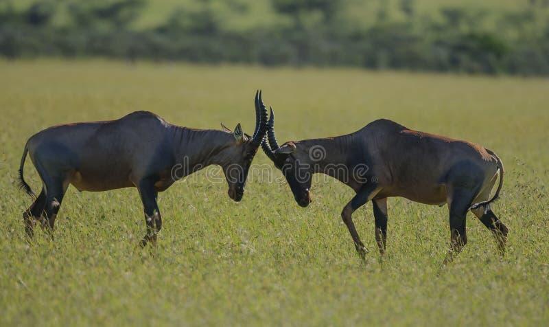 Dos Tsessebe, lunatus del lunatus del Damaliscus, antílope, cerrando los cuernos imagen de archivo libre de regalías