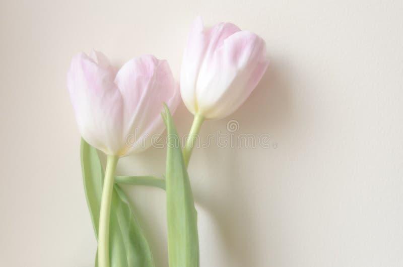 Dos tulipanes agradables en un fondo blanco fotografía de archivo libre de regalías