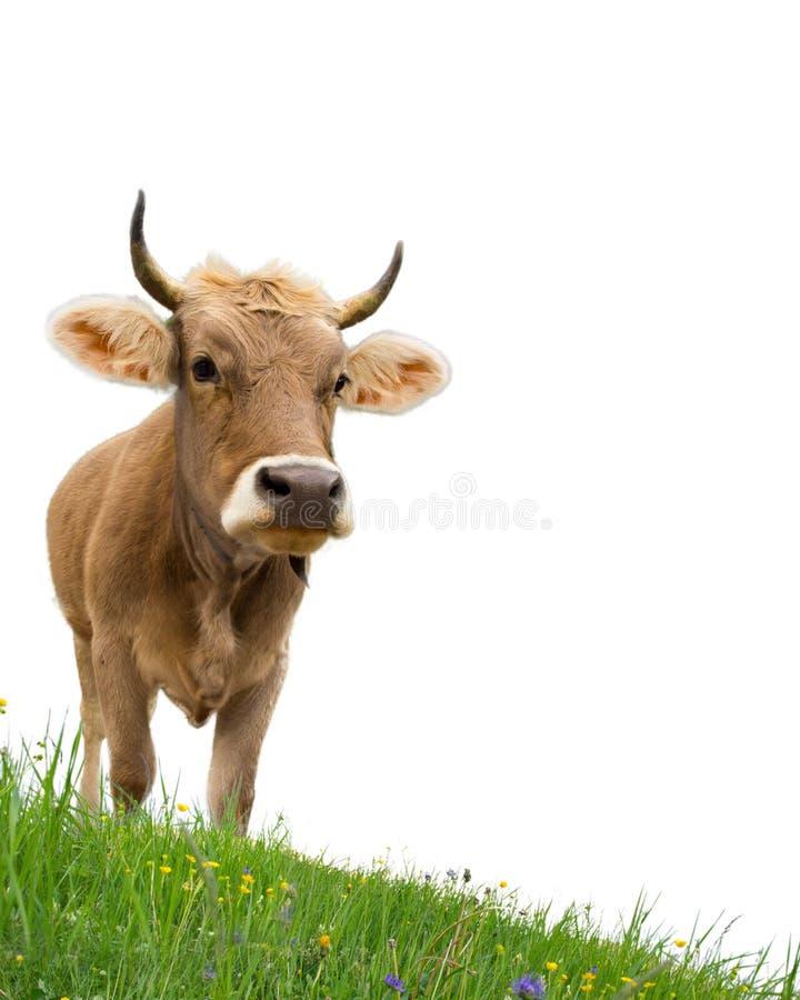 Dos vacas imágenes de archivo libres de regalías
