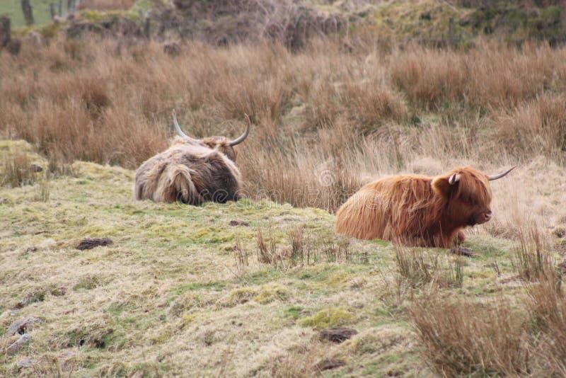 Dos vacas de la montaña imágenes de archivo libres de regalías