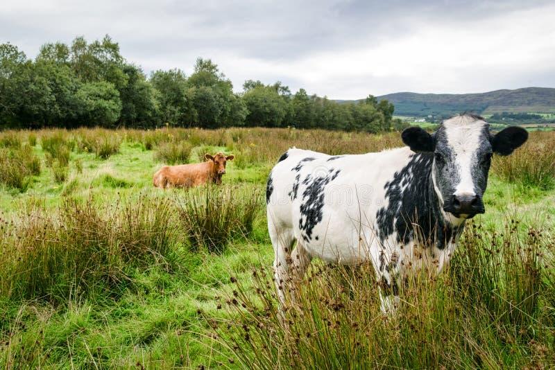 Dos vacas en un campo fotografía de archivo libre de regalías